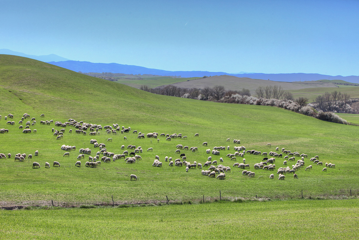 Sheep in Val d'Orcia, Tuscany, Italy